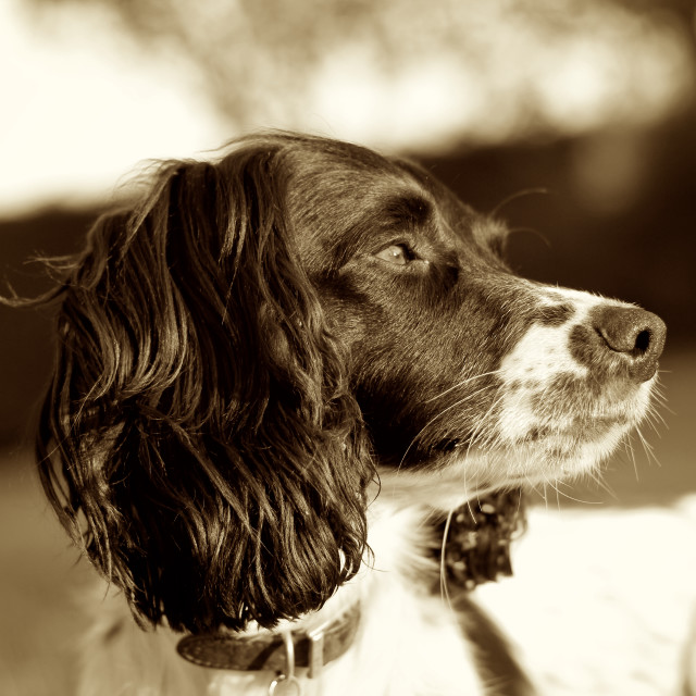 """Springer Spaniel Dog Sepia Square"" stock image"