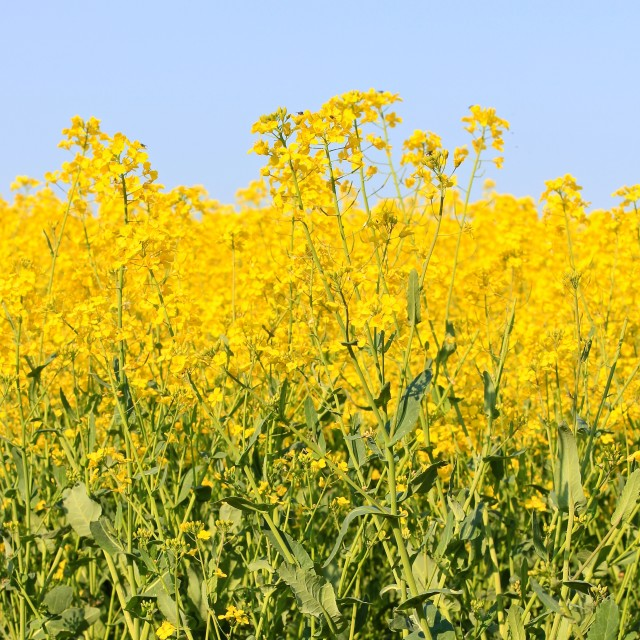 """Three Stripes of Blue Sky Yellow and Green Rapeseed Crop"" stock image"