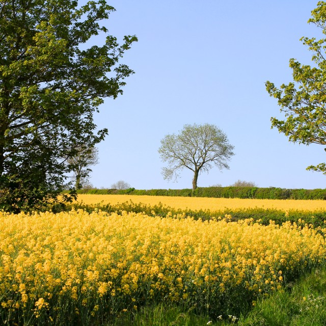 """""""Cotswolds Rape Seed Oil Fields and Trees"""" stock image"""