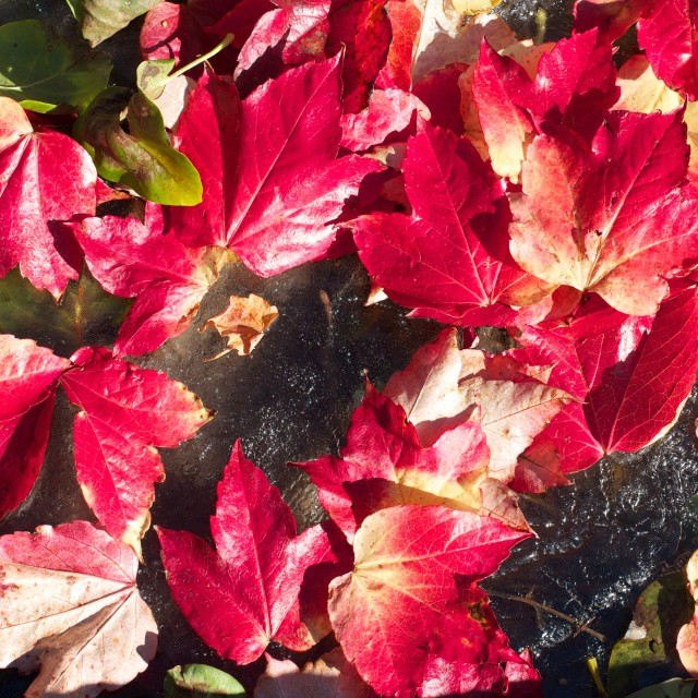 """Vivid Red Autumn Leaves Scattered on Ice"" stock image"