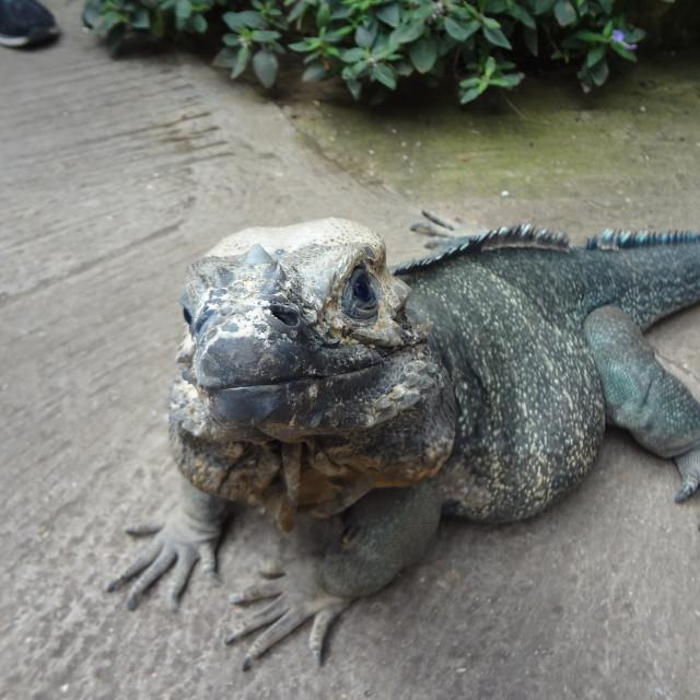 """""""Rhinoceros iguana"""" stock image"""