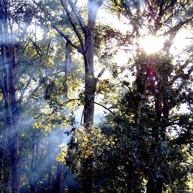 """""""Smoke Sunlight Trees"""" stock image"""
