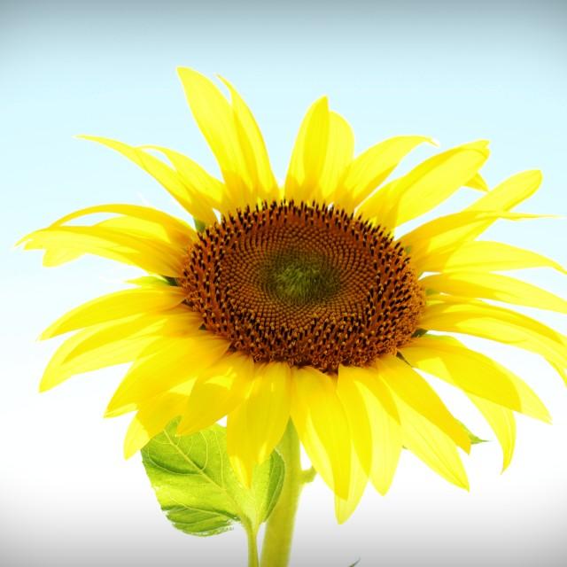 """Solo sunflower"" stock image"