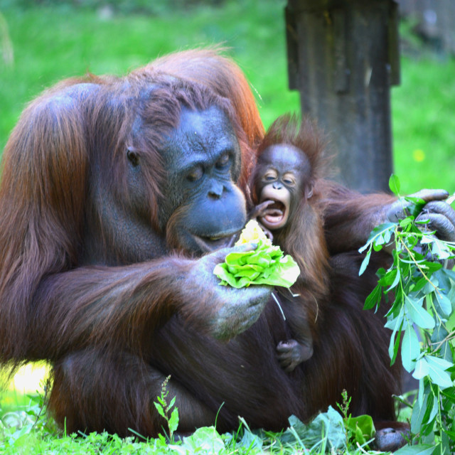 """Orang Utan and Baby"" stock image"