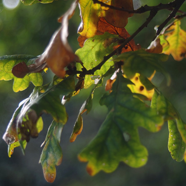 """October Oak Leaves"" stock image"