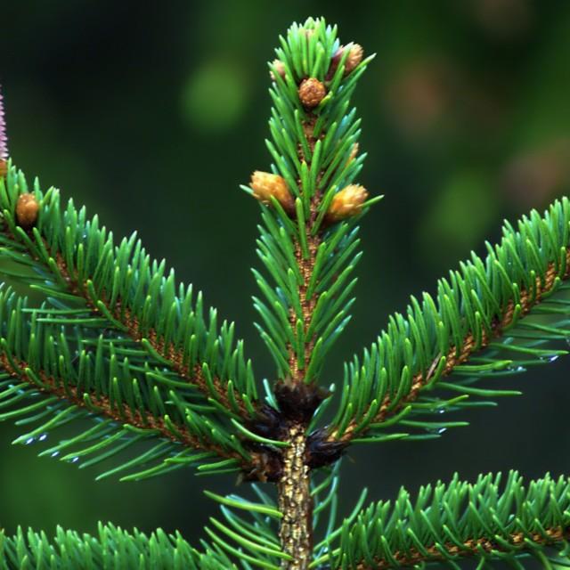 """Spruce cones"" stock image"