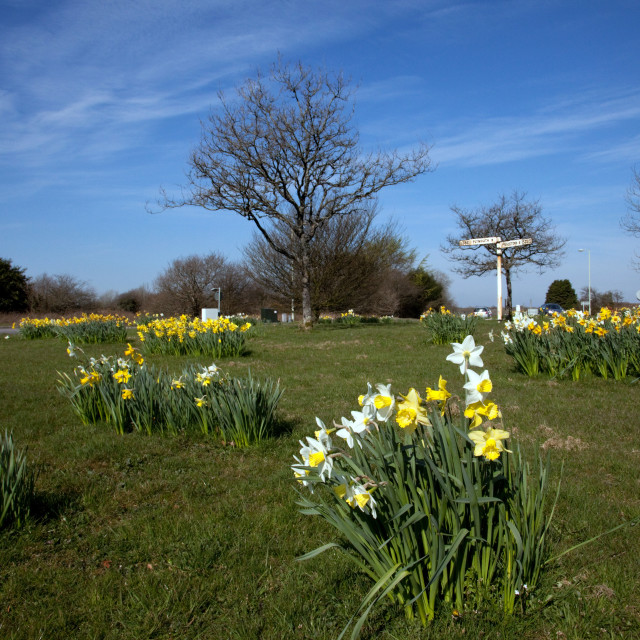 """Yelverton Daffodils"" stock image"