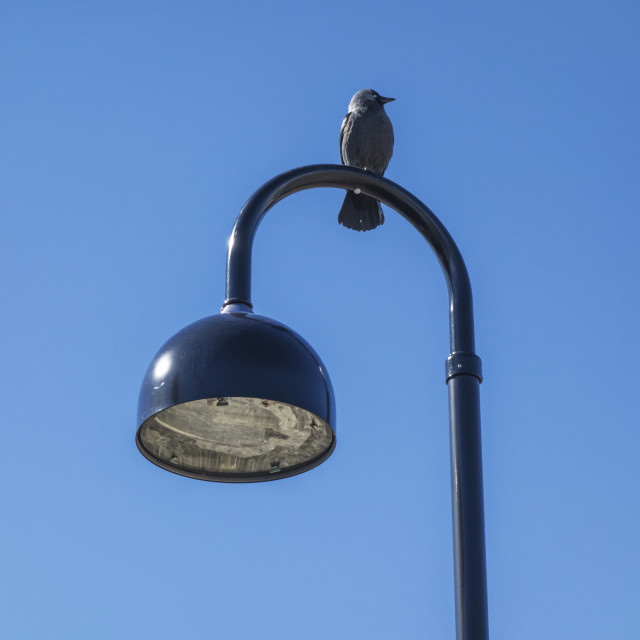 """jackdaw and street light"" stock image"