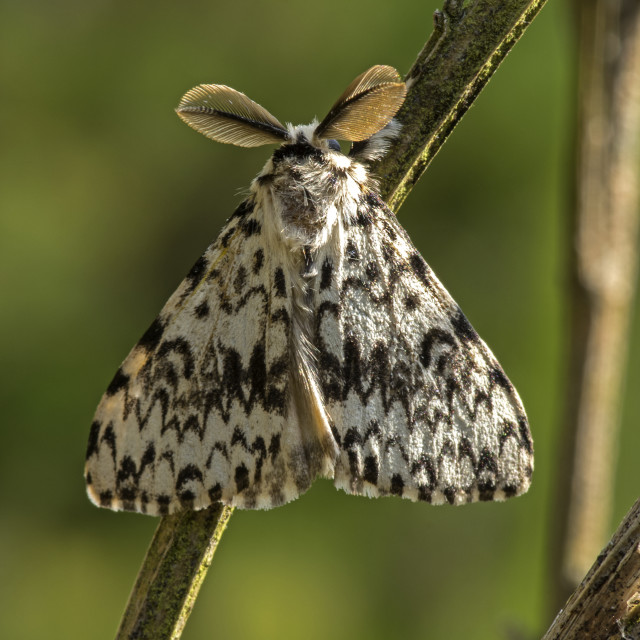 """Black Arches Moth"" stock image"