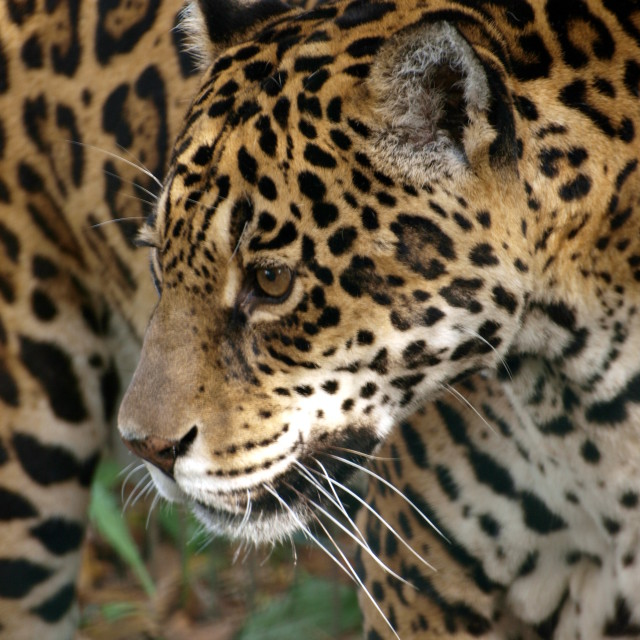 """Female Jaguar"" stock image"