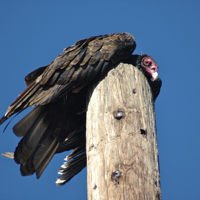 """""""Resting Vulture"""" stock image"""