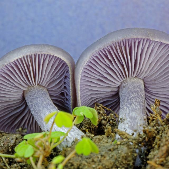 """Amethyst Deceiver Mushroom (Laccaria amethystina)"" stock image"