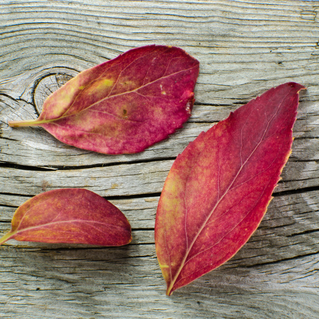"""Red colored leaves"" stock image"