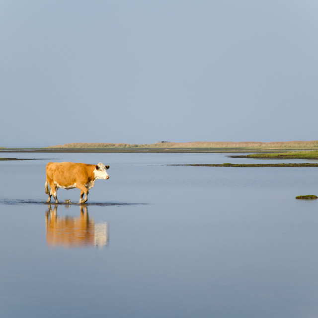 """""""Calm water with walking cow"""" stock image"""