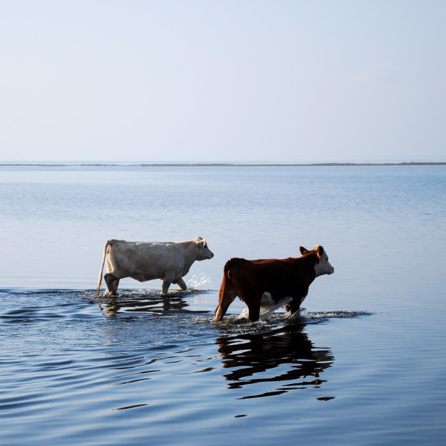 """Cows at the beach"" stock image"