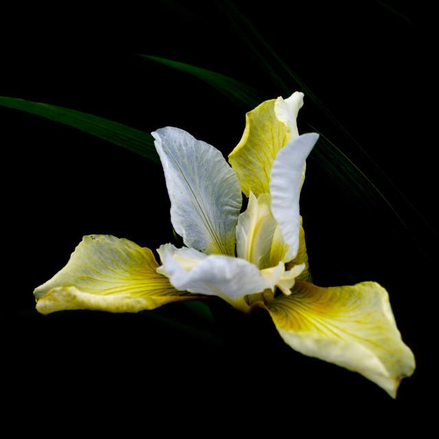 """""""Iris Light"""" stock image"""