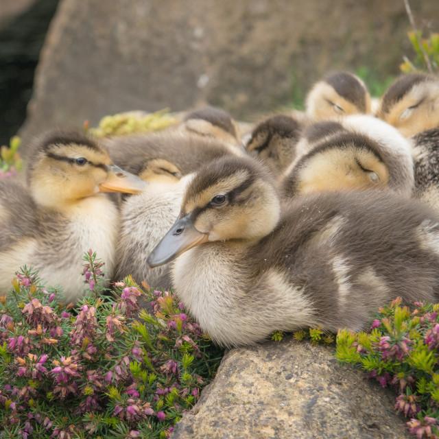 """Ducklings - Mallards"" stock image"