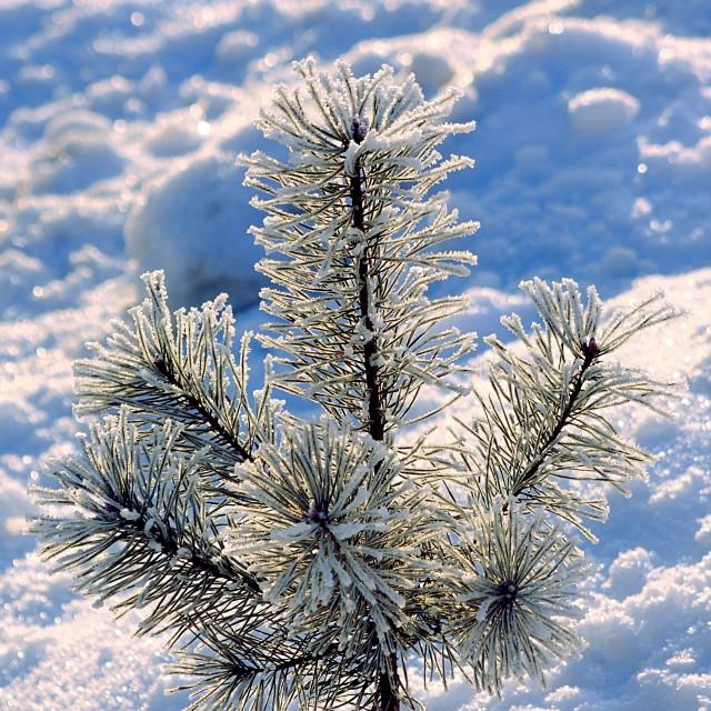 """Winter pine top"" stock image"
