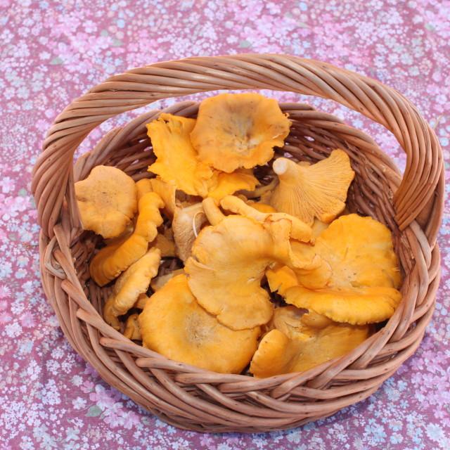 """Chanterelle mushrooms"" stock image"