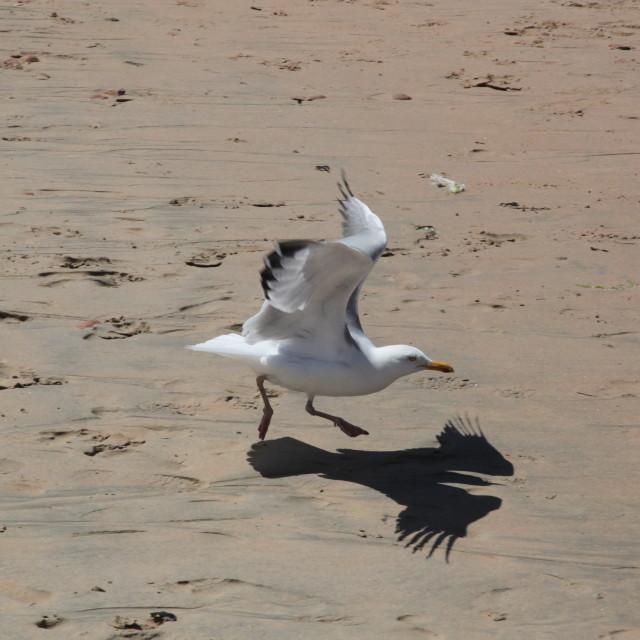 """Seagull phoenix"" stock image"