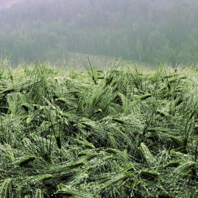 """Barley field wet from rain"" stock image"