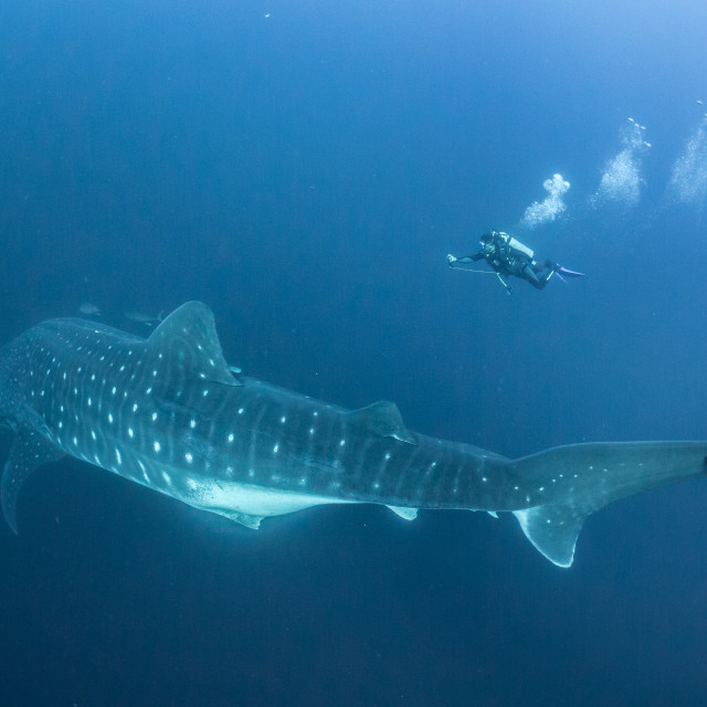 """Scuba diver with a huge whale shark in the Galapagos Islands"" stock image"