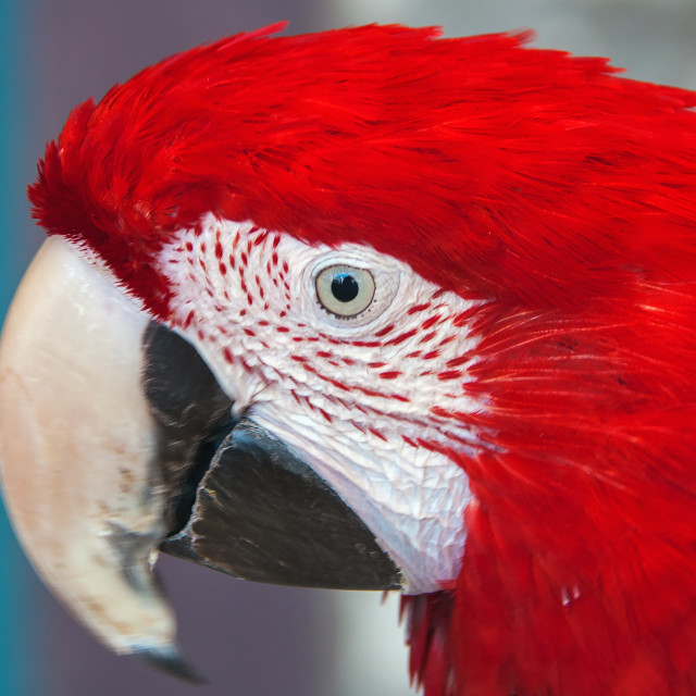 """parrot's eye"" stock image"
