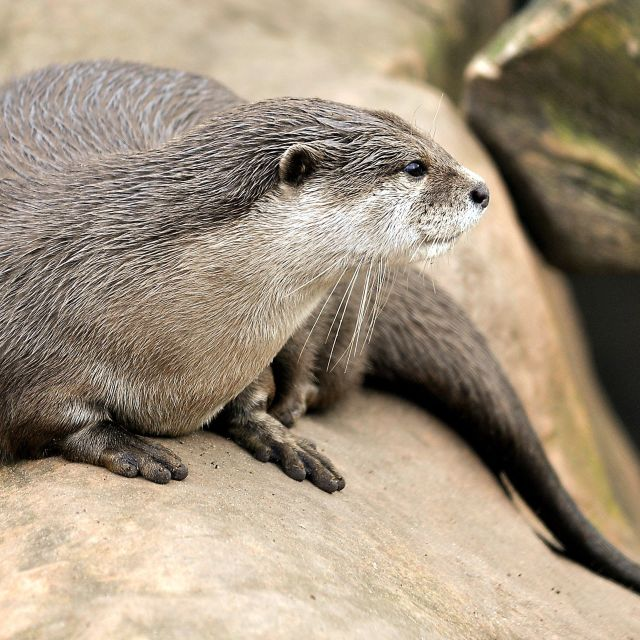 """OTTER POSE"" stock image"