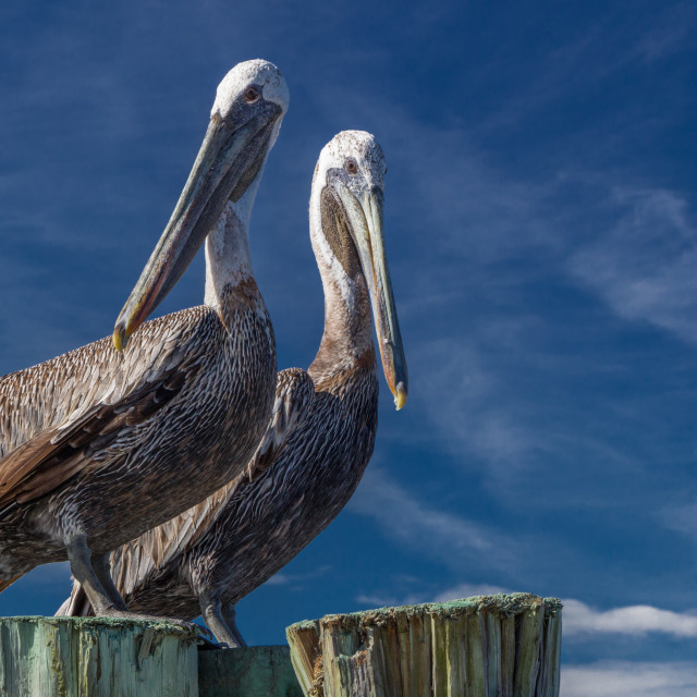 """Brown Pelicans"" stock image"