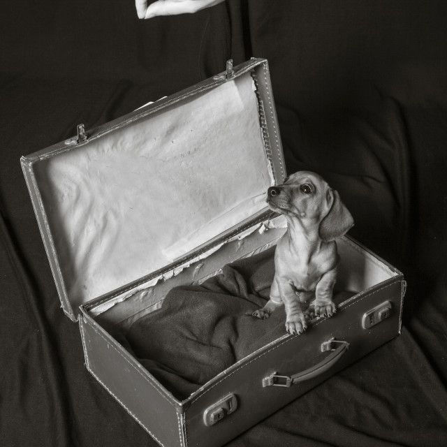 """""""Little dog in a suitcase"""" stock image"""