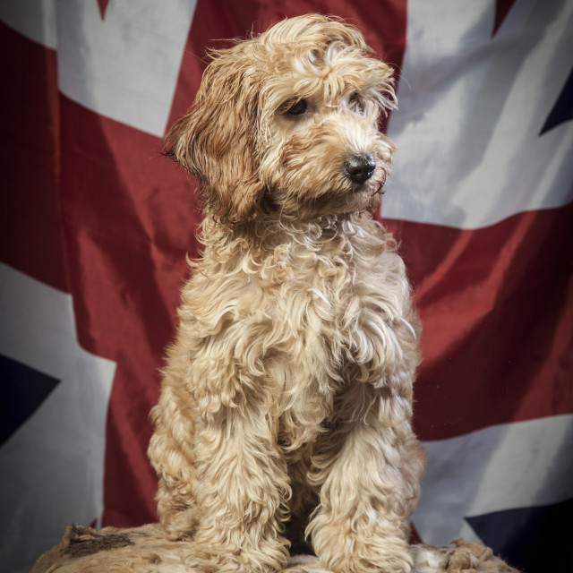 """Cockapoo Portrait"" stock image"