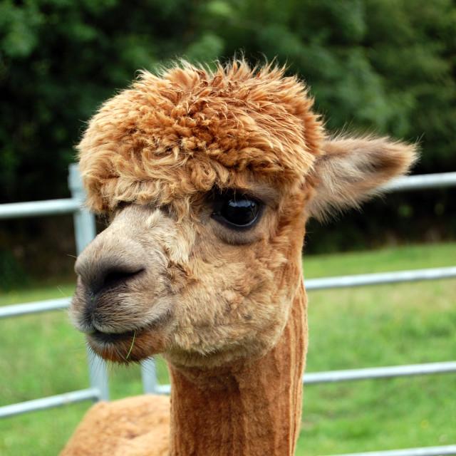 """Adorable alpaca"" stock image"