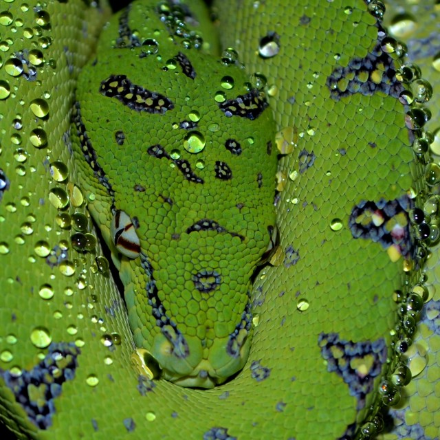 """Green Tree Python (Droplets)"" stock image"