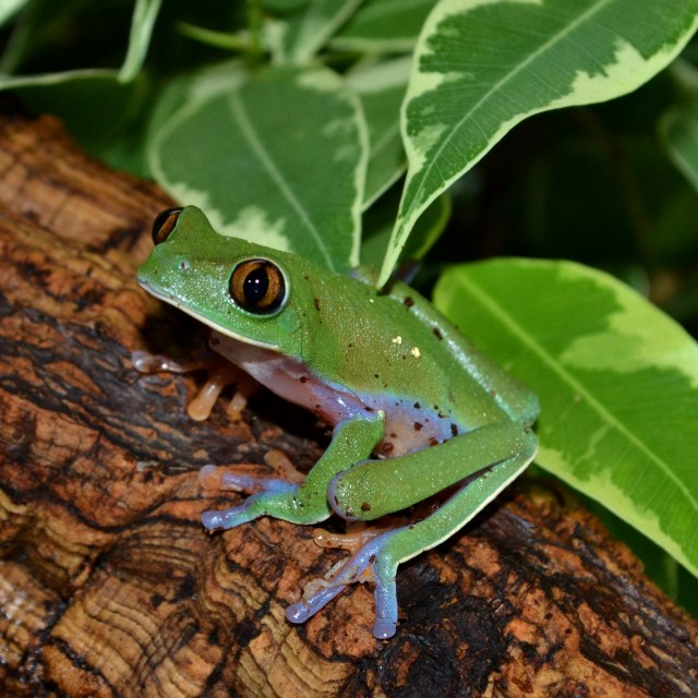 """Blue-Sided Tree Frog"" stock image"