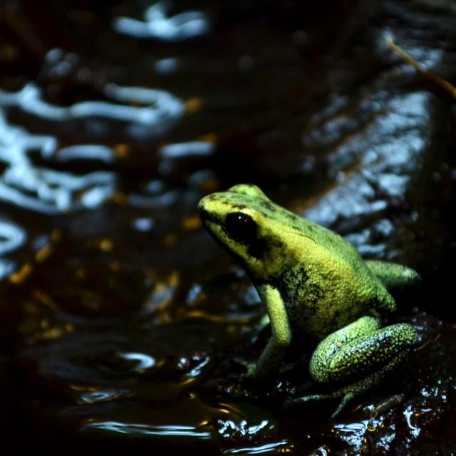"""Golden Dart Frog"" stock image"
