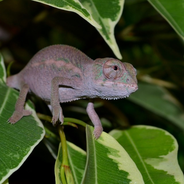 """""""Baby Panther Chameleon"""" stock image"""