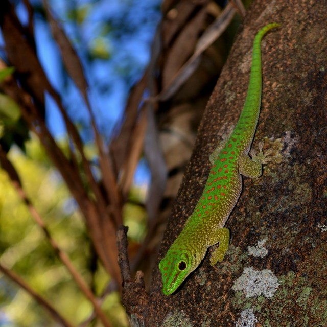 """Koch's Day Gecko"" stock image"
