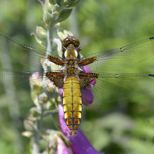 """Broad-bodied Chaser dragonfly"" stock image"