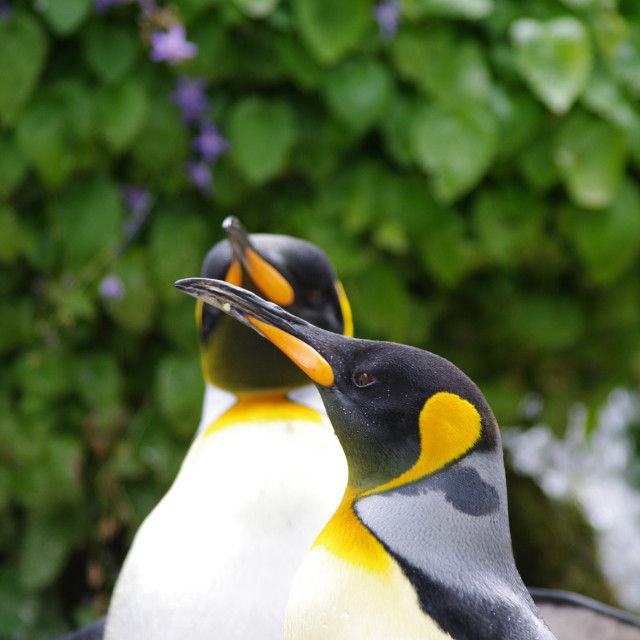 """King Penguins"" stock image"