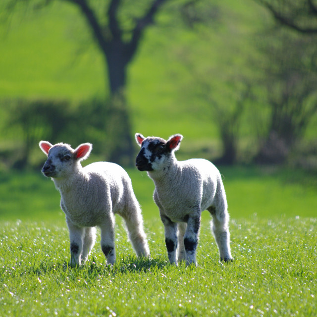 """""""Two little lambs"""" stock image"""