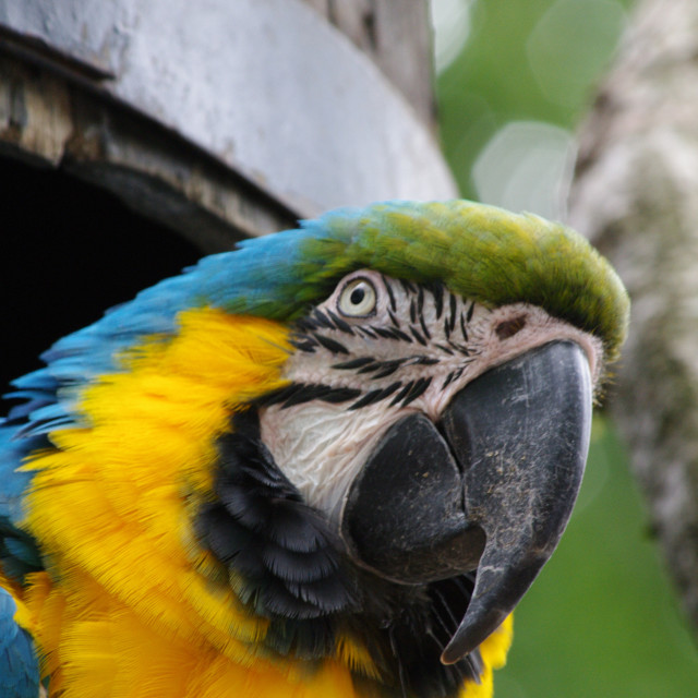 """""""Blue and Yellow Macaw, vertical"""" stock image"""
