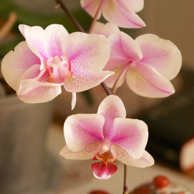 """Phalaenopsis orchid in pot"" stock image"