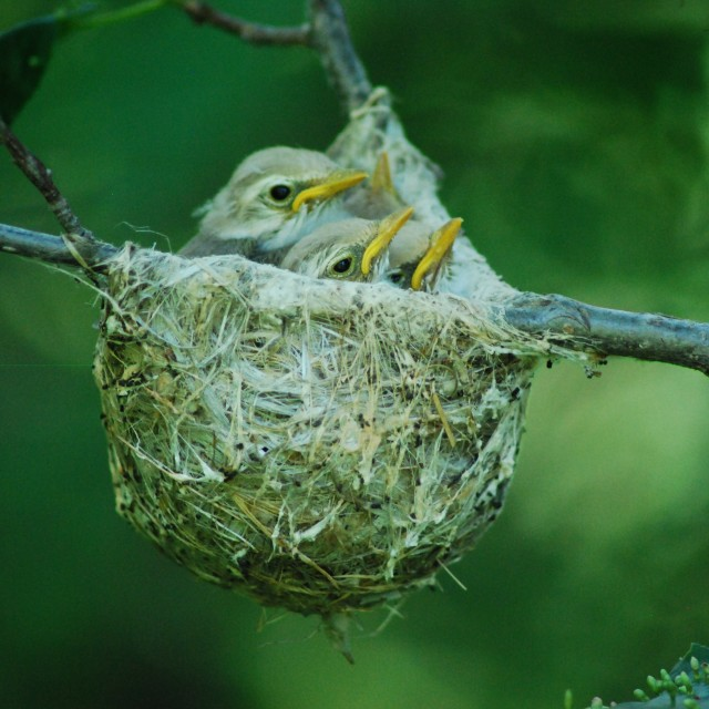 """Baby birds in a Nest"" stock image"