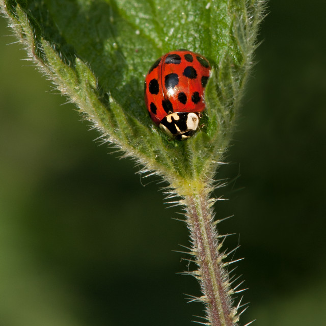 """Ladybird in Nettle leaf"" stock image"