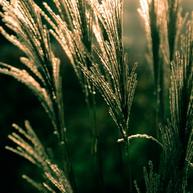 """Grass straws"" stock image"