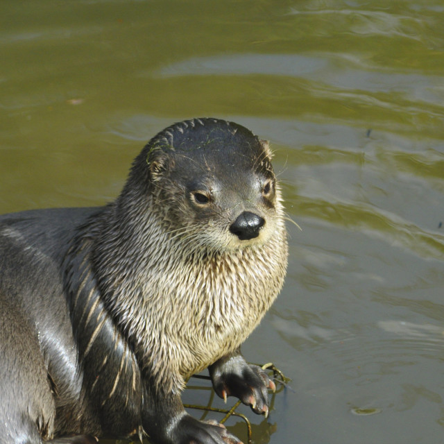 """""""North American River Otter (Lontra canadenses)"""" stock image"""
