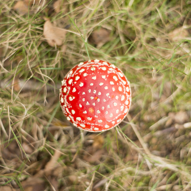 """Fairy Toadstool (Fly Agaric)"" stock image"