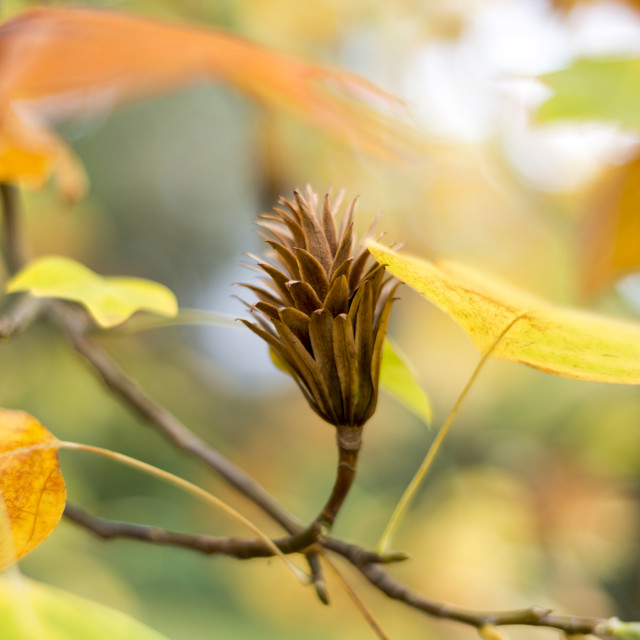 """Autumn leaves and a seed pod"" stock image"