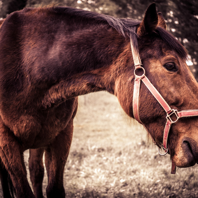 """Very brown horse"" stock image"