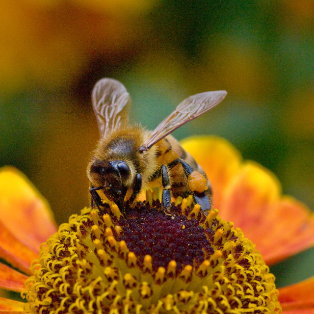 """Honey bee on Helenium flower"" stock image"
